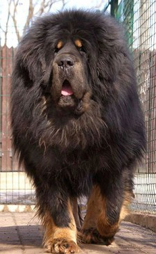 tibetan mastiff dog looking like a lion