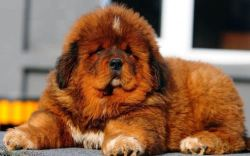 Tibetan Mastiff taking a break