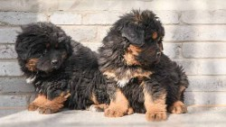 Two Tibetan Mastiff puppies sitting and behaving themselves