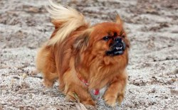 Beautiful re tibetan spaniel dog running on sand