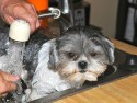 tips on how to effectively get rid of fleas and ticks on your shih tzu