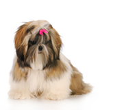 shih tzu top-knot hairstyle
