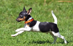 Image of Toy Fox Terrier dog