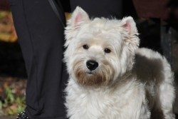 Image of a West Highland White Terrier