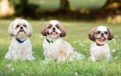 three adorable shih tzu dogs sitting in a field