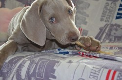 How to stop your puppy from biting: Image of young dog chewing on a bone.