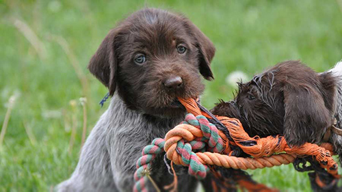 wirehaired pointing griffon puppies chewing on ropes
