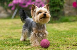 Yorkshire Terrier dog playing with a ball