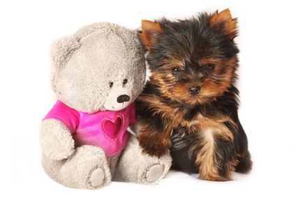 picture of yorkshire terrier - small dog breeds that don't shed