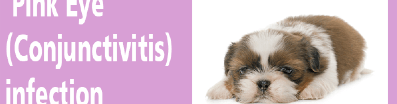 Dog pink eye conjunctivitis infection