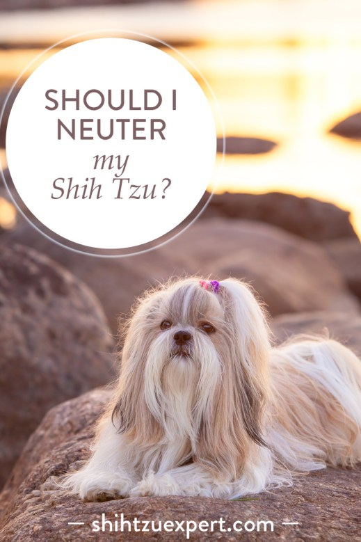 Should I neuter my Shih Tzu? Dangers!, Risks, Advantages