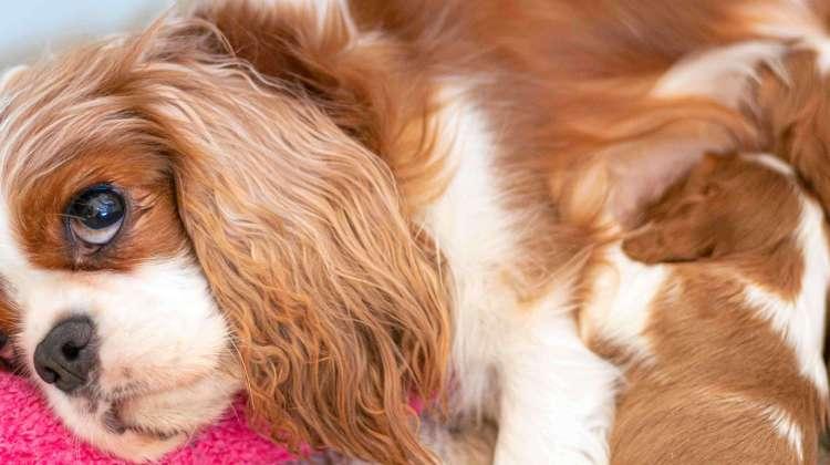 Dog Pregnancy Calendar [Duration + Heat Cycle]