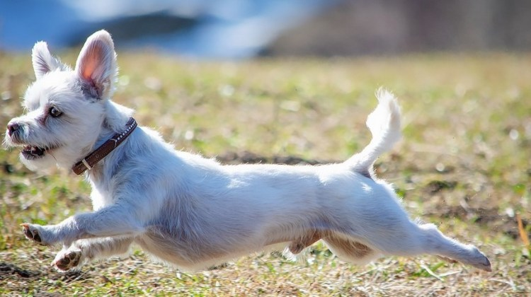 PetSafe Happy Ride Extendable Dog Ramp