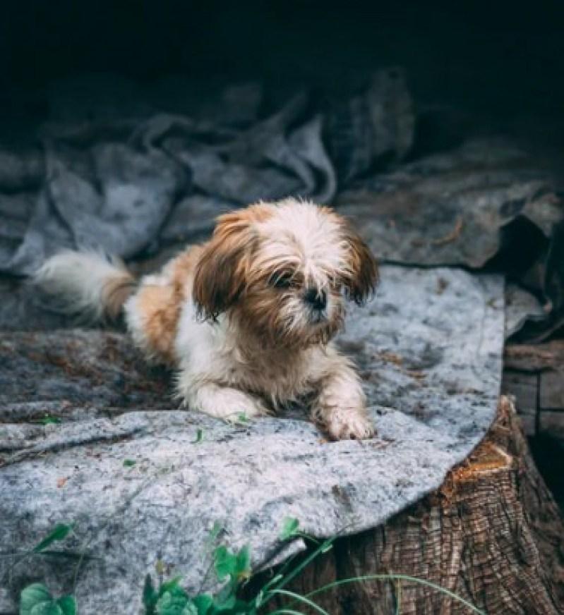 American Rat Terrier Shih Tzu mix (Ratshi Terrier)