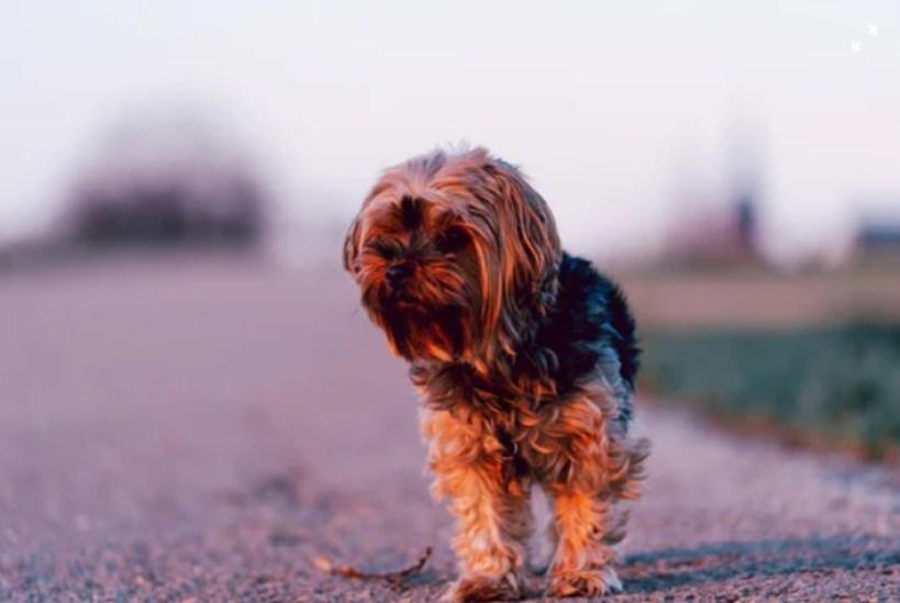 The Shih Tzu Wire Fox Terrier Mix (Fo-Tzu)