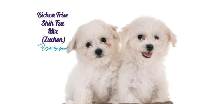 Bichon Frise Shih Tzu Mix (Zuchon) (1)