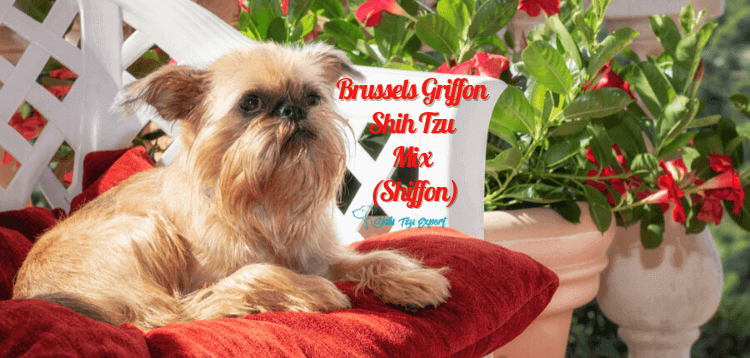 Brussels Griffon Shih Tzu Mix (Shiffon)