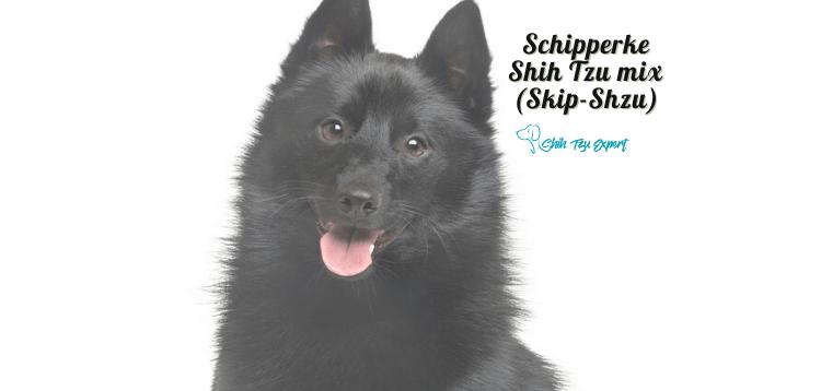Schipperke Shih Tzu mix (Skip-Shzu) (1)