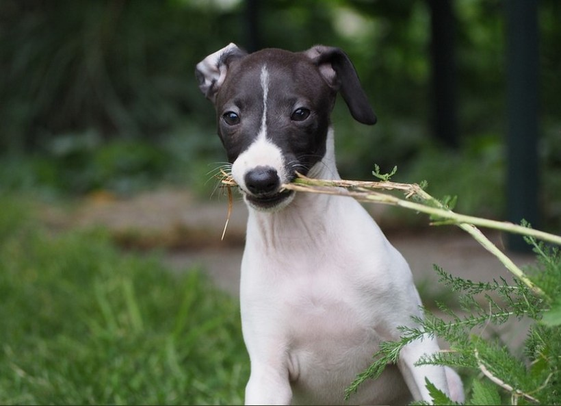 Italian Greyhound Shih Tzu Mix: Italian Tzu