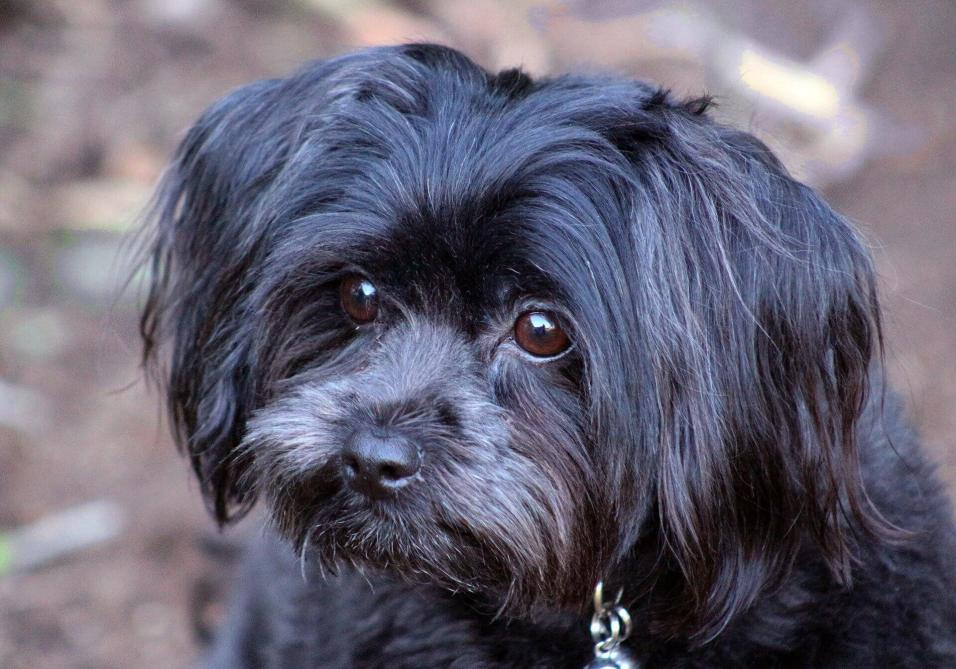Are Shih Tzu Naughtier Than Other Breeds?
