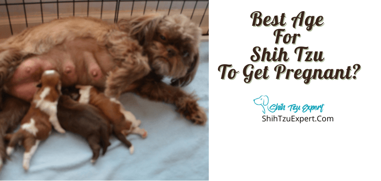 Best Age For Shih Tzu To Get Pregnant