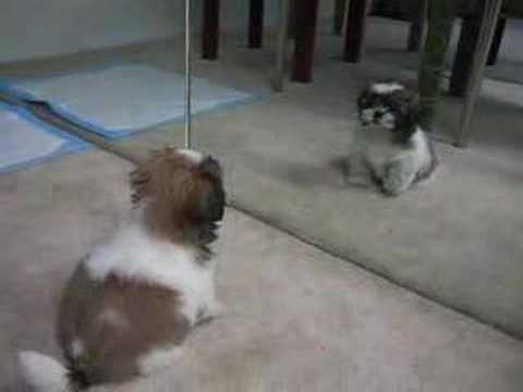 Gizmo the Shih Tzu – first bark (10 weeks old)