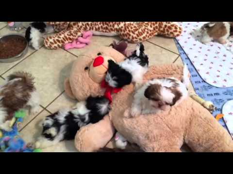 2016-01-20_New Cute Shih Tzu Pups