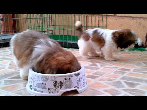Cutees Pure Female Shih Tzu
