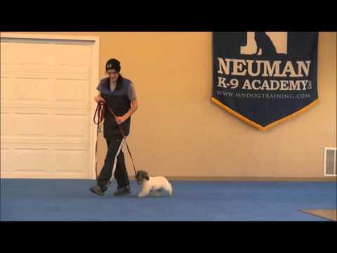 Winston (Shih Tzu) Puppy Boot Camp Training
