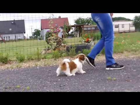 Training with shih tzu puppy