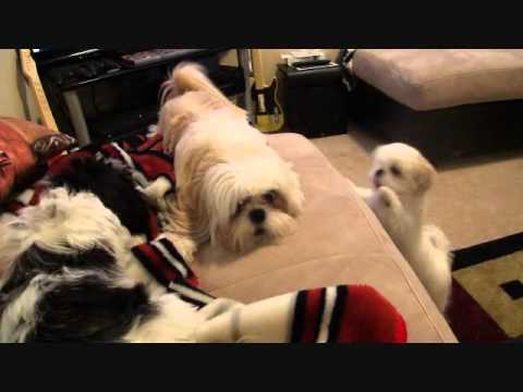 Bossy Dog – Shih Tzu Won't Stop Barking or Hitting!
