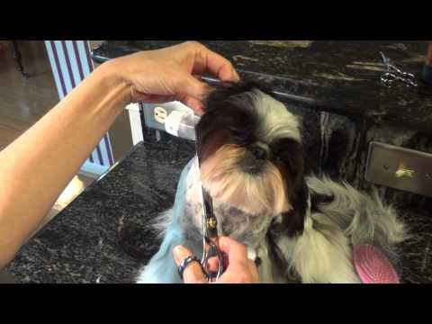 Grooming the Shih Tzu Face