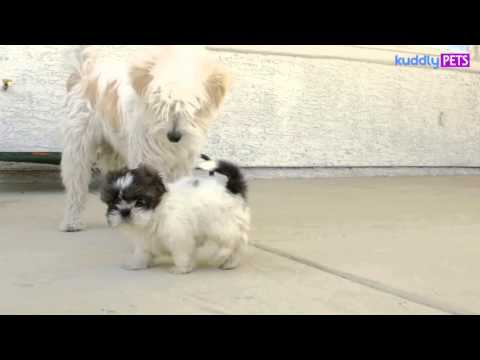 Lilly The Shih Tzu With Her Brothers
