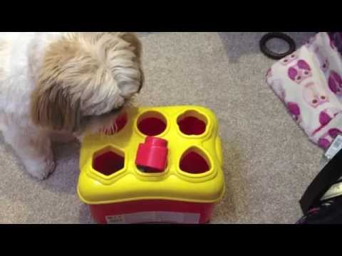 Shih tzu putting shapes in a shape sorter