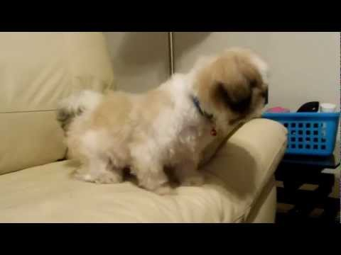CUTE SHIH TZU BARKING