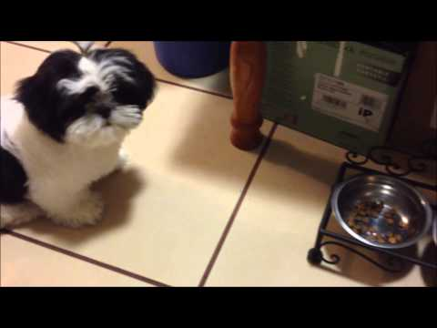 Po The Shih Tzu Ep.9 – What I Feed My Puppy