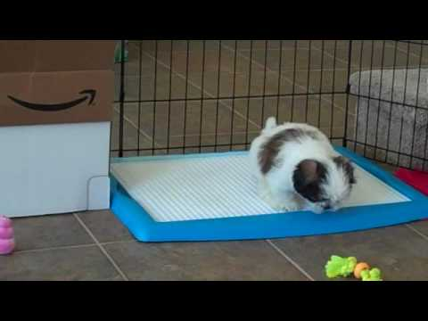 Wizdog potty training – Shih Tzu puppy