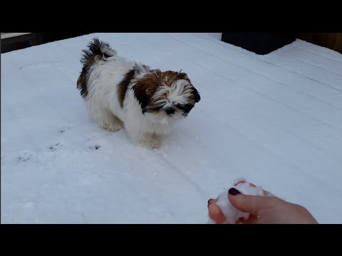 Louis Shih Tzu Puppy And His First Experience With Snow