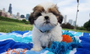 Gizmo The Shih Tzu First Bark 10 Weeks Old Shihtzu Time