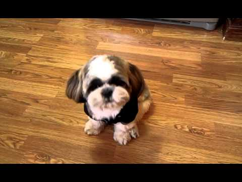 Conversations with king bubba the talking shih Tzu dog. We bet it will make you say awwww!