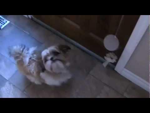 Dog Rings Bell to Go Outside – Shih Tzu Training