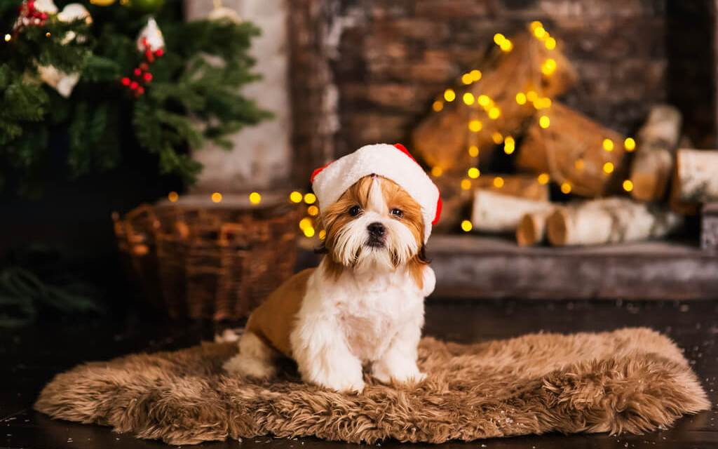 Shih Tzu Christmas Dogs Safety