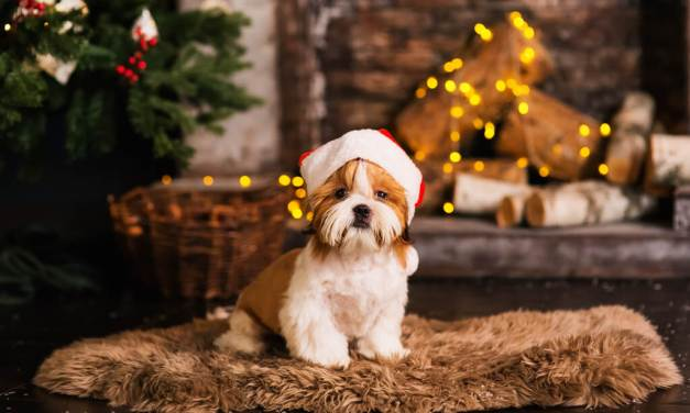Shih Tzu Christmas Dogs Safety