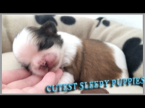 Sleeping Beauty Shih Tzu Puppies
