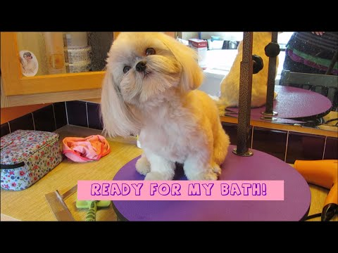 Shih Tzu Bath Time