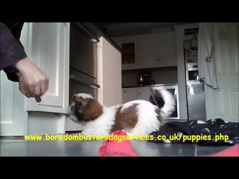 Shih Tzu Puppy Learning Rollover