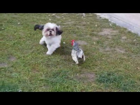 Funny Shih Tzu dog playing with a small cockerel
