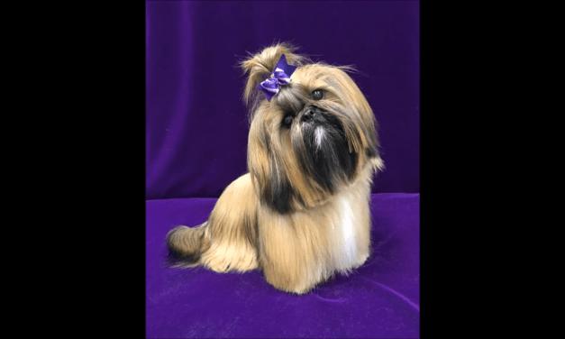 Tampa Dog Grooming-Shih Tzu Hairstyles