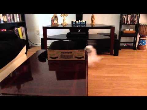 Cat slapping dog – Dog running -Funny Shih Tzu Puppy No.3