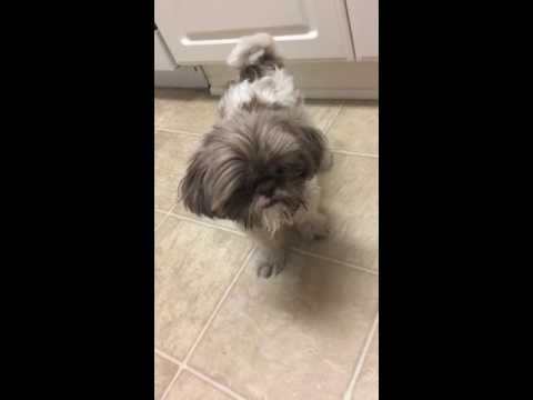 Shih Tzu dog finally learns how to sit! Cute video.